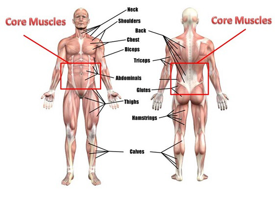 An image of all the muscles around the core